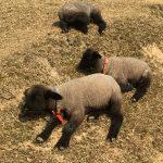 「めえめえ牧場」に行ってきた!ブログ  子羊・料金・アクセス・営業時間・羊毛館など
